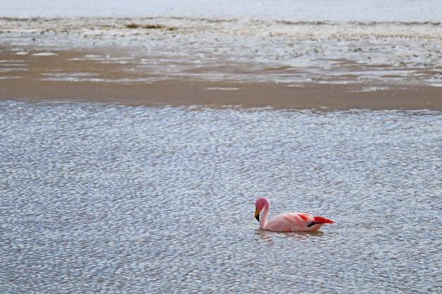 Roze flamingo zwemmen in het ondiepe zoute water van laguna hedionda lake, boliviaanse altiplano, provincie nor lipez in bolivia