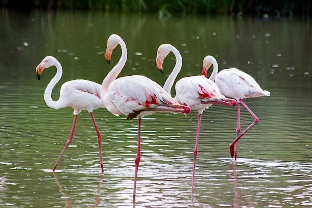Roze flamingofamilie streek op het water van een meer neer.