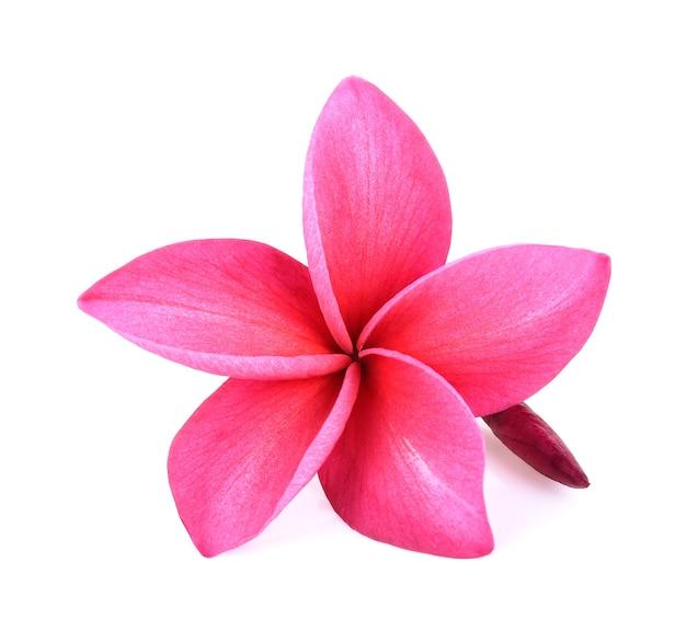 Roze frangipani-bloemen die op witte achtergrond worden geïsoleerd