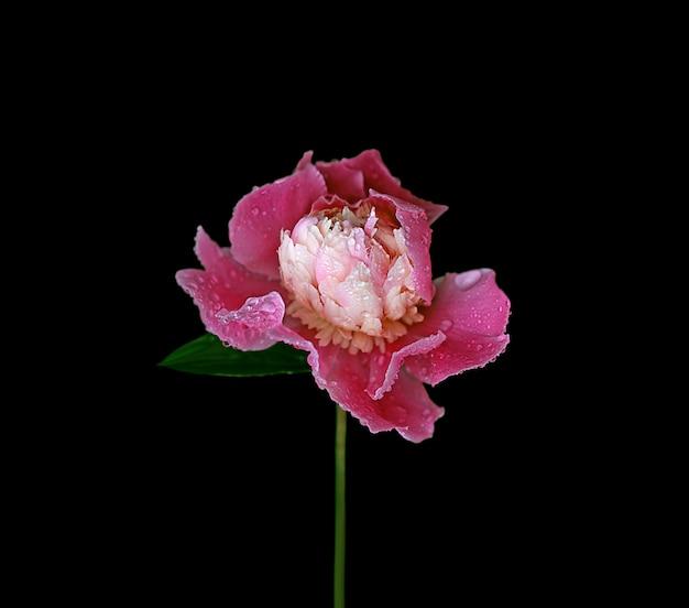 Roze geïsoleerde pioenbloem