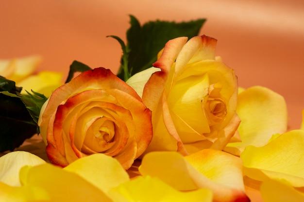 Roze-gele open rozen met waterdruppels en bloemblaadjes op een roze achtergrond close-up