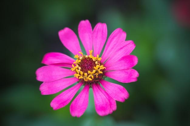Roze gemeenschappelijke zinnia (zinnia elegans) in tuin met ruimte voor het zetten van tekst