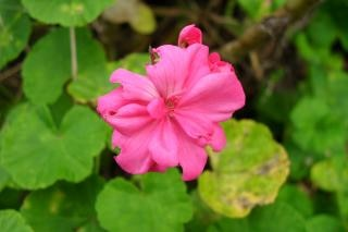 Roze geranium, de natuur