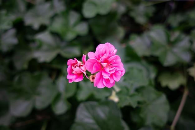Roze geraniumbloem in cameron highland - stad van bloem