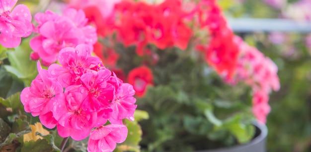 Roze geraniumbloemen in de zomertuin