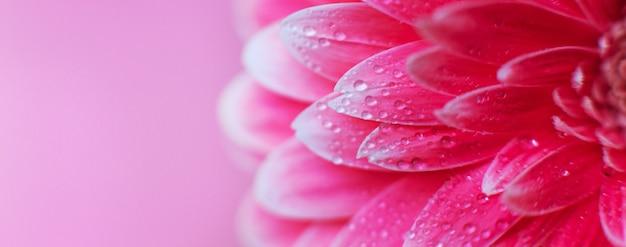 Roze gerbera bloemblaadjes met druppels water, macro op bloem, mooie abstracte achtergrond. banner