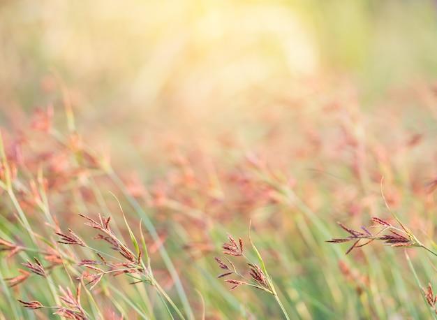 Roze gras in de natuur landschap van de winterweide van thailand, selectiefocus slechts op een bepaald punt in beeld