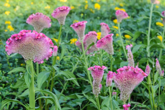 Roze hanekam of celosia cristata bloementuin