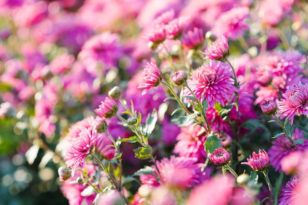 Roze heldere chrysantenbloemen op een zonnige dag in de tuin, selectieve nadruk