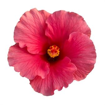 Roze hibiscusbloem die op wit wordt geïsoleerd