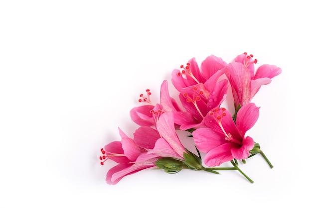 Roze hibiscusbloemen die op wit worden geïsoleerd.