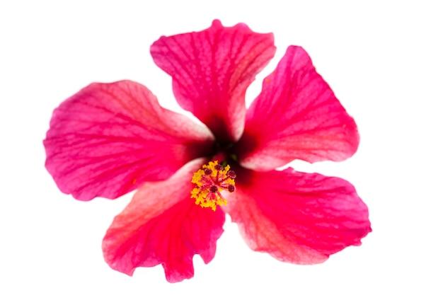Roze hibiscusbloemen op witte achtergrond.