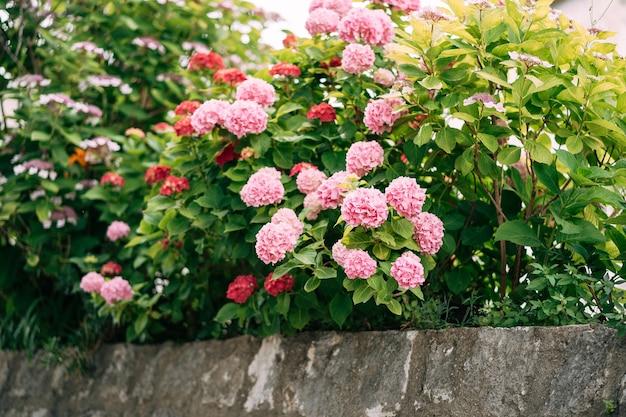 Roze hortensia's in dichte struiken achter een stenen border.