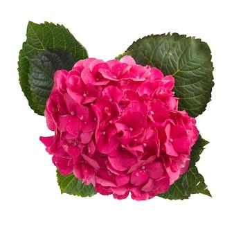 Roze hortensiabloem geïsoleerd