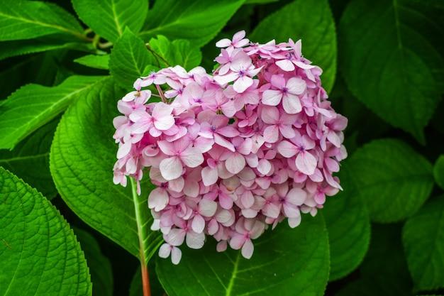 Roze hydrangea macrophylla