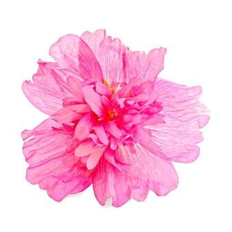 Roze kaasjeskruid bloem geïsoleerd op een witte achtergrond