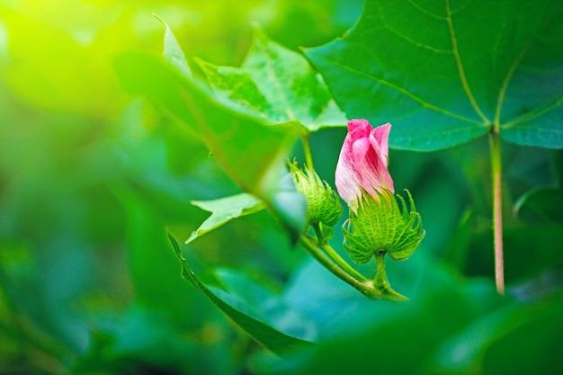 Roze katoenen bloem, katoenveld