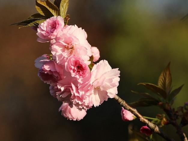 Roze kers bloeiende bloesems bloemen kwanzan boom