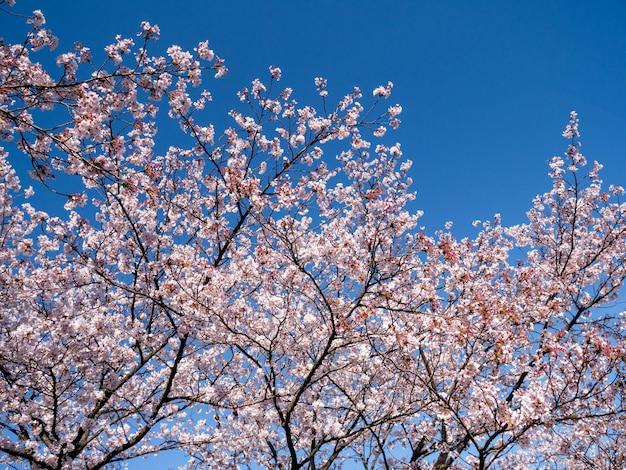 Roze kersenbloesem bloemen op blauwe hemel
