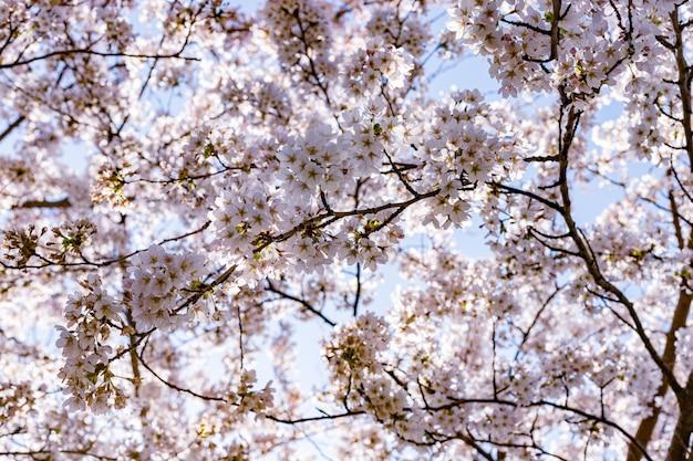 Roze kersenbloesem (sakura) in park