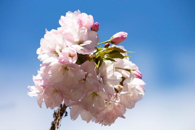 Roze kersenbloesems op een boomtak op een blauwe hemelachtergrond, lentebloemachtergrond