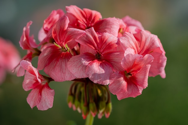 Roze kleur van bloemen bloemblaadjes pelargonium zonale willd. macrofotografie van schoonheidsbloemblaadjes, waardoor een aangenaam gevoel ontstaat bij het bekijken van foto's. zachte, selectieve focus van bloei plant.
