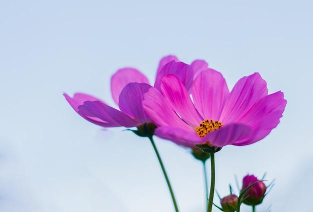 Roze kosmos bloemen bloeien in de tuin.