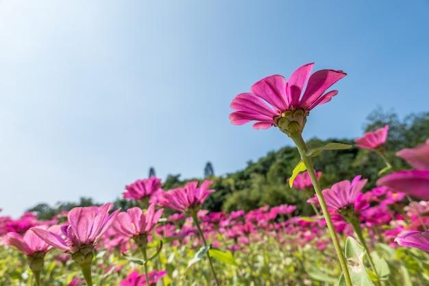Roze kosmos bloemen boerderij onder blauwe lucht in de buitenlucht