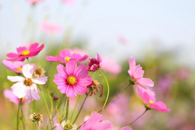 Roze kosmosbloem die bij bloemgebied bloeit