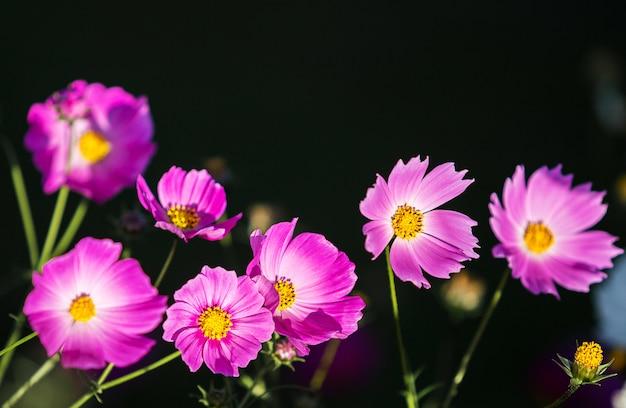 Roze kosmosbloem op donkere of zwarte achtergrond
