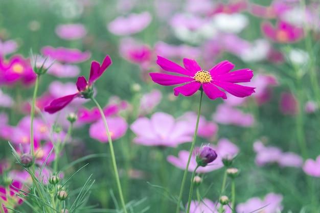 Roze kosmosbloemen in uitstekende stijl
