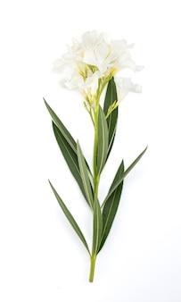 Roze laurier met witte bloemen