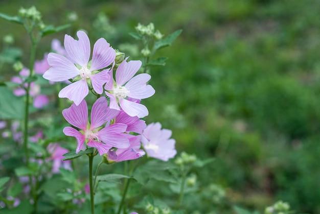 Roze lavatera of hollyhock kaasjeskruidbloemen met delicate roze bloemblaadjes die bloeien op een stadsbloembed