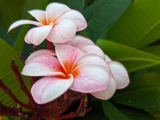Roze leelavadee