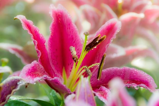 Roze leliebloem die van regenwater verfrist