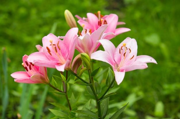 Roze leliebloemen in tuin