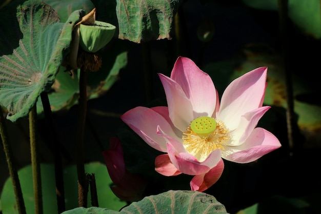 Roze lotus bloeit met lotuszaad, groene bladeren en water