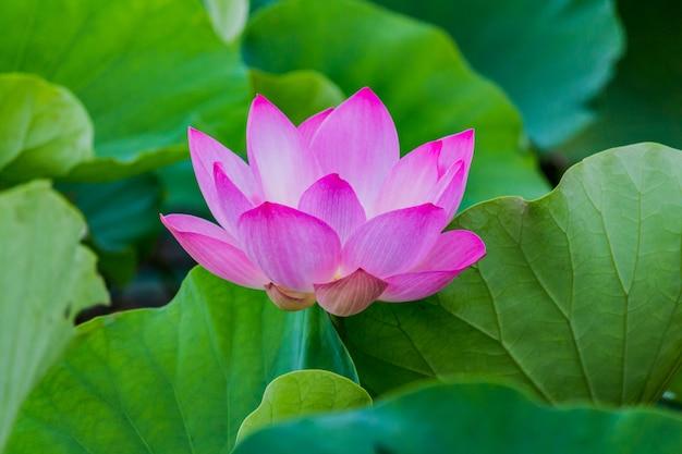 Roze lotus-bloem en lotus-bloeminstallaties