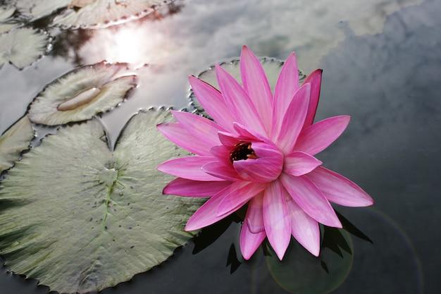 Roze lotus-bloem mooie lotusbloem