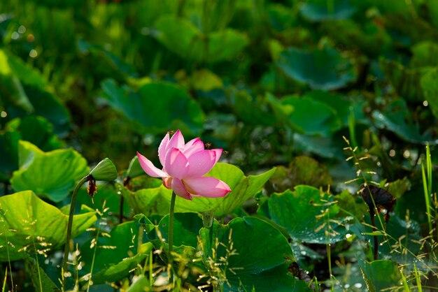 Roze lotus en bij op de groene natuur in de ochtend