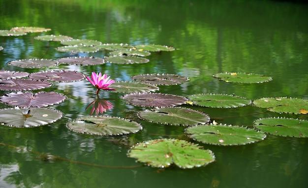 Roze lotus in de ochtend