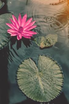 Roze lotus in de vijver met natuur reflectie in vintage stijl