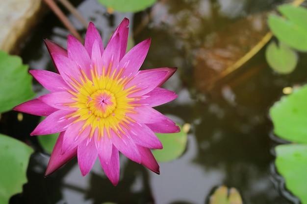 Roze lotusbloem die met groen blad en water bloeit