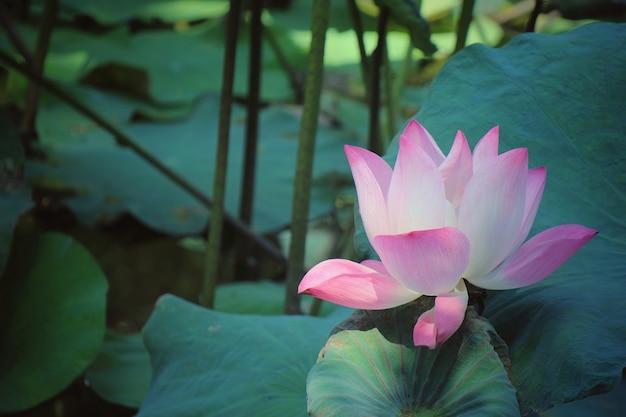 Roze lotusbloem die met groene bladeren en water bloeit