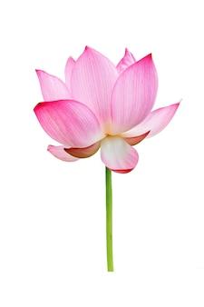 Roze lotusbloem geïsoleerd op een witte achtergrond. bestand bevat met uitknippad zo gemakkelijk om te werken.