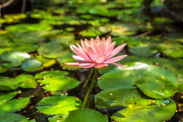 Roze lotusbloem met groen blad in vijver