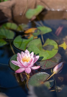 Roze lotusbloem op het meer