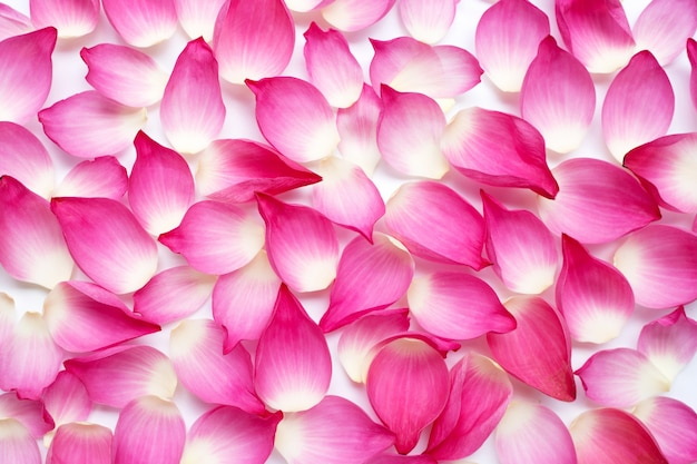 Roze lotusbloemblaadjes op witte achtergrond.