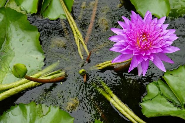 Roze lotusbloembloem en groen blad in water.