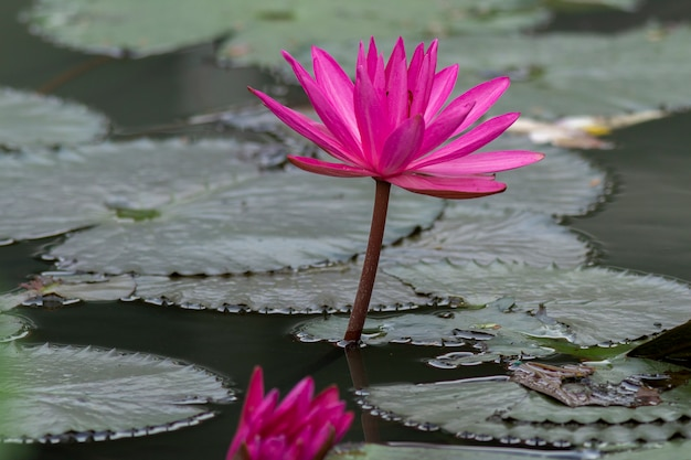 Roze lotusbloembloem in vijver